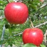 りんごの新品種は美味しい!!青森岩手山形甘酸っぱくて濃厚な味わい‼