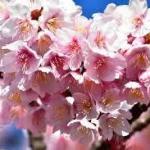 あたみ桜のおすすめは濃いピンク色!!冬の開花で春を先取り桜まつり❣