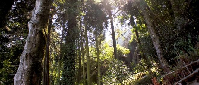 Wald vor dem Castelo dos Mouros