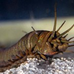 Don't mess: The tropical worm is covered in thousands of bristles which are capable of<br /> inflicting a sting resulting in permanent numbness