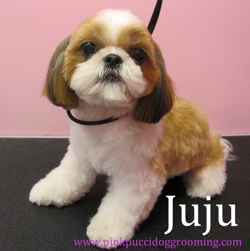Large Of Shih Tzu Haircut