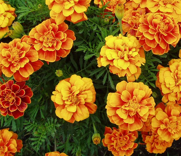 Marigolds | Types of Summer Flowers