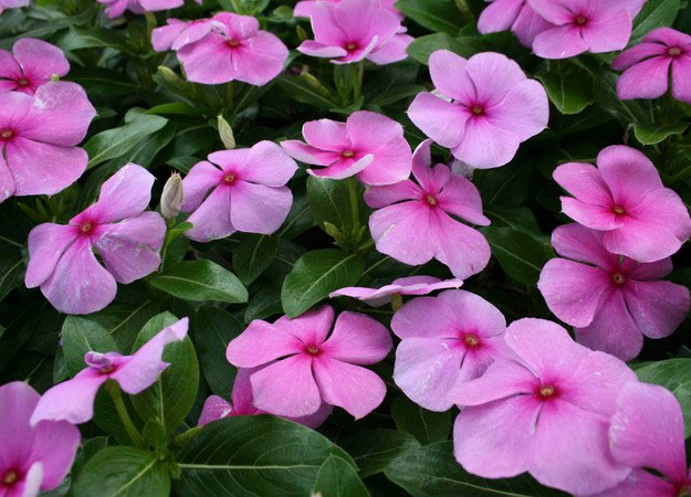 Periwinkle | Types of Summer Flowers