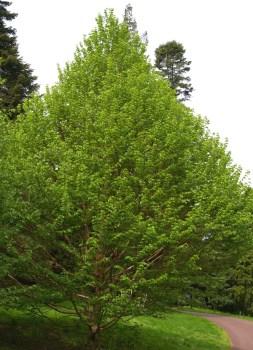 Corylus-fargesii-John-Grimshaw-plant