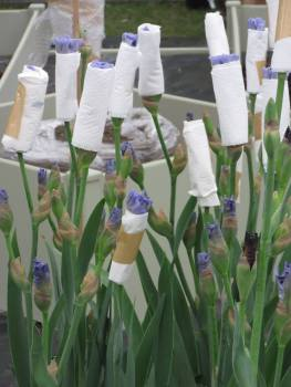 Iris carefully wrapped in toilet paper to protect the individual flowers.