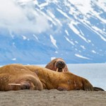 Walruses lying on the shore in Svalbard, Arctic