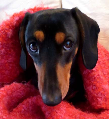 Miniature dachshund looking guilty
