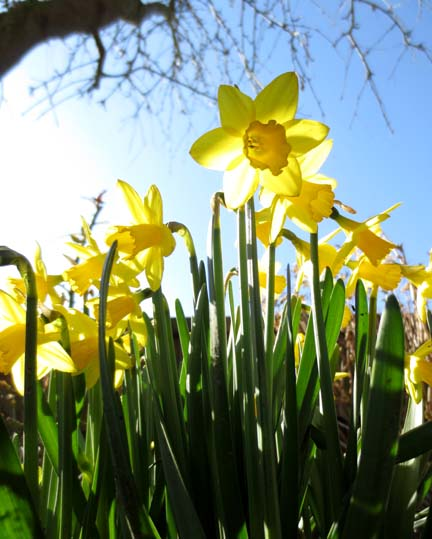 daffodils in the sun for a Sheep shape post
