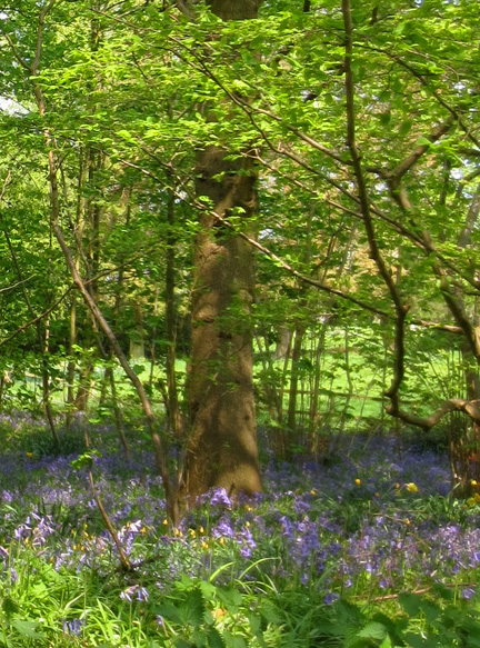 bluebell wood - Beautiful Blues