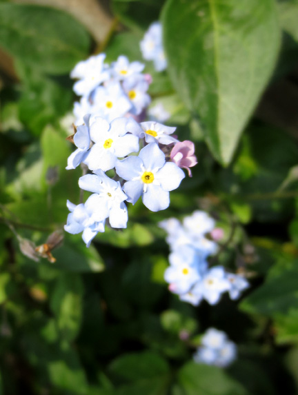 forget-me-nots - Beautiful Blues