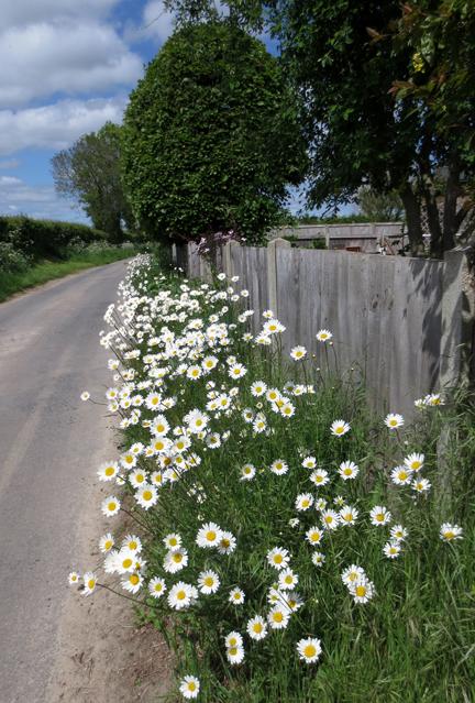 ox eye daisy down the lane