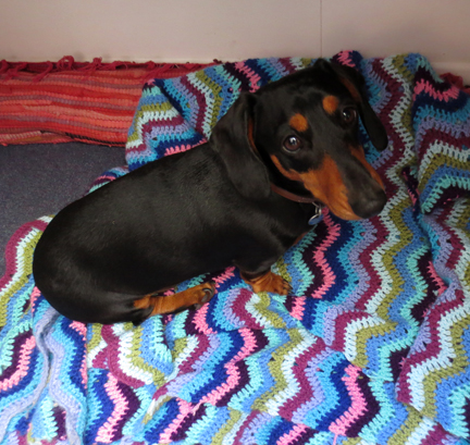 mini dachshund and crochet throw