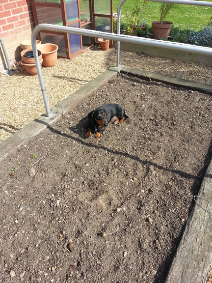 dachshund in raised bed