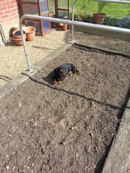 dachshund in raised bed