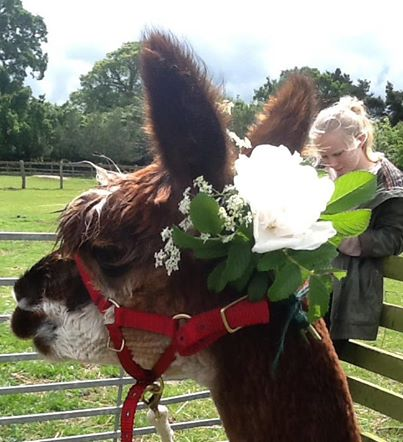 Alpaca in his wedding hat - Burnt Fen Alpacas