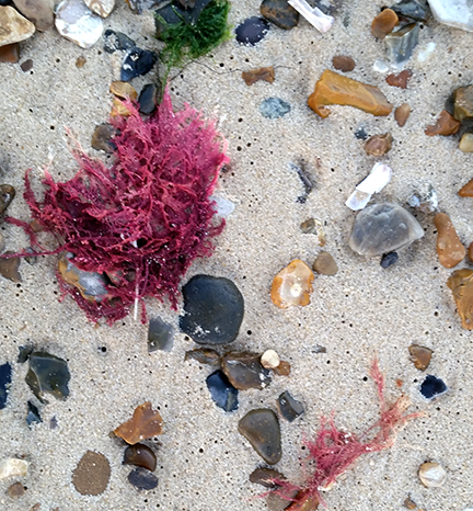 seaweed on the autumn beach