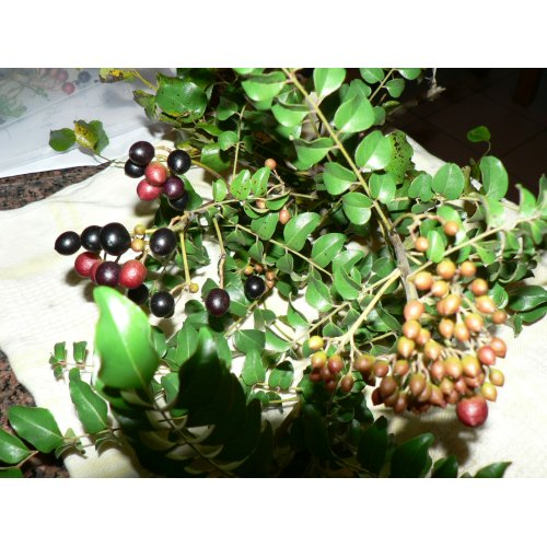 Medium Crop Of Curry Leaf Plant