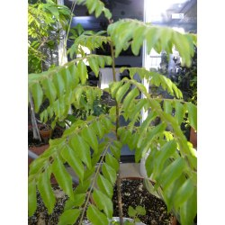 Peculiar Sale Curry Leaf Tree Melbourne 5389 Curry Leaf Plant Pruning Curry Leaf Plant