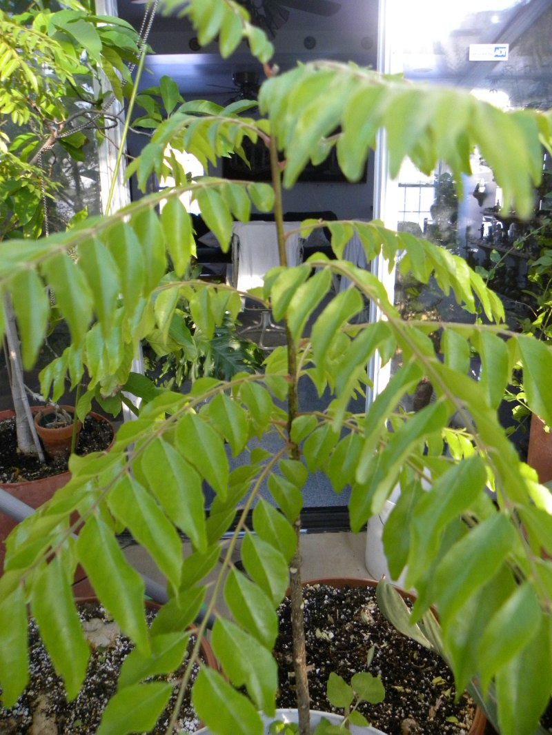 Large Of Curry Leaf Plant