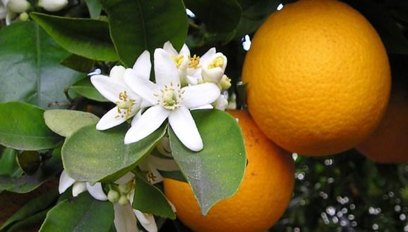 huile-essentielle-orange-douce