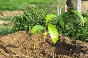 plant-bois-rose-guyane