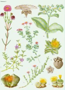 aizoaceae