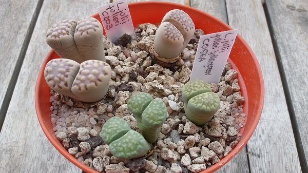 lithops julii