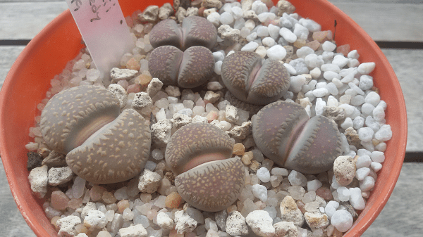 lithops-villetii-1