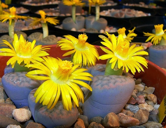 lithops-cactusleon