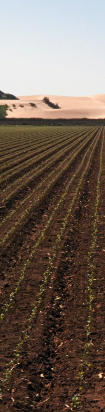 Photo of a newly sprouted field of cauliflower.