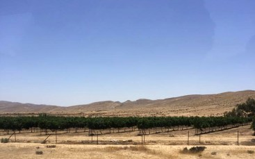 An experimental vineyard in the Negev Desert