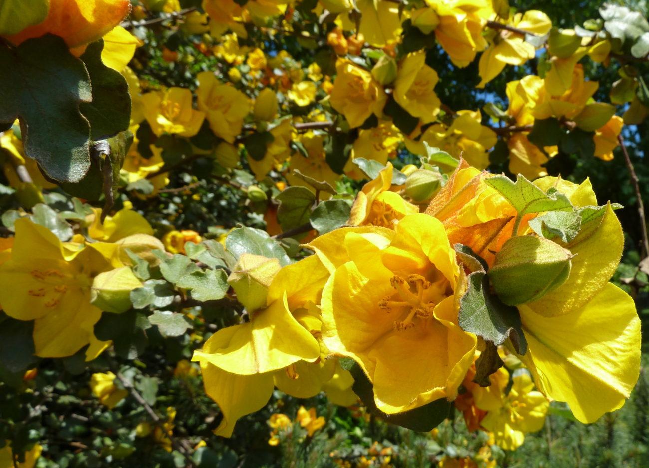 Astounding Fremontodendron Californicum Photo By Flickr User Wendy Cutler 1300x937 San Gabriel Nursery S San Gabriel Nursery Robbery houzz 01 San Gabriel Nursery
