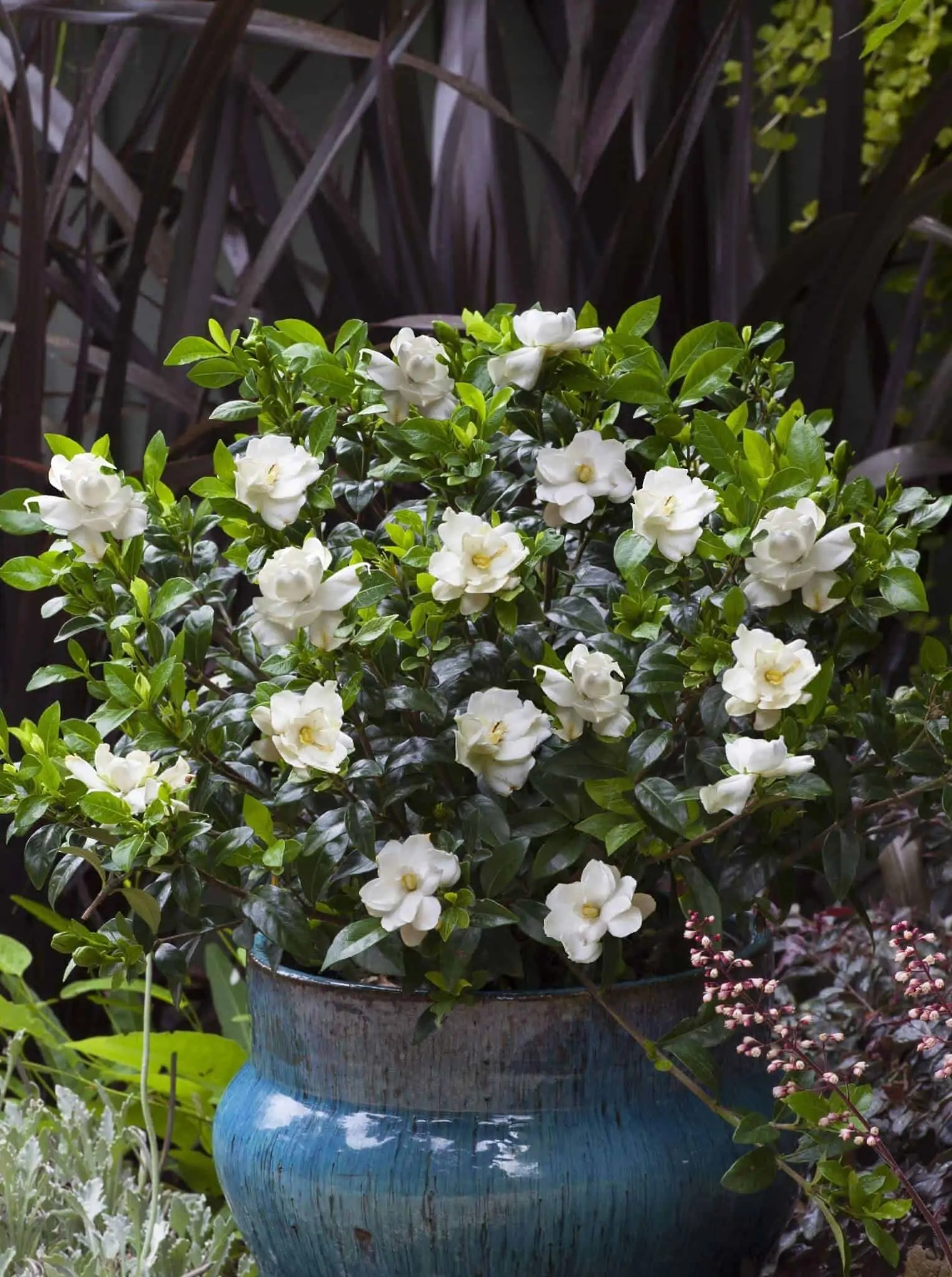 Dazzling Jubilation Gardenia Landscape Jubilation Gardenia Shipped To You Shop August Beauty Gardenia Hedge August Beauty Gardenia Yellow Leaves houzz-03 August Beauty Gardenia