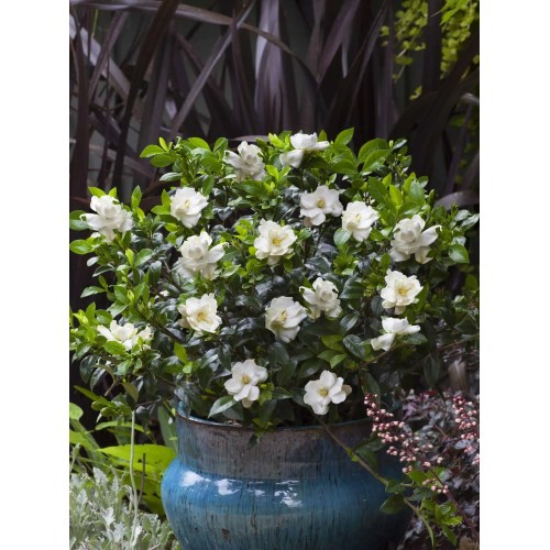 Medium Crop Of August Beauty Gardenia