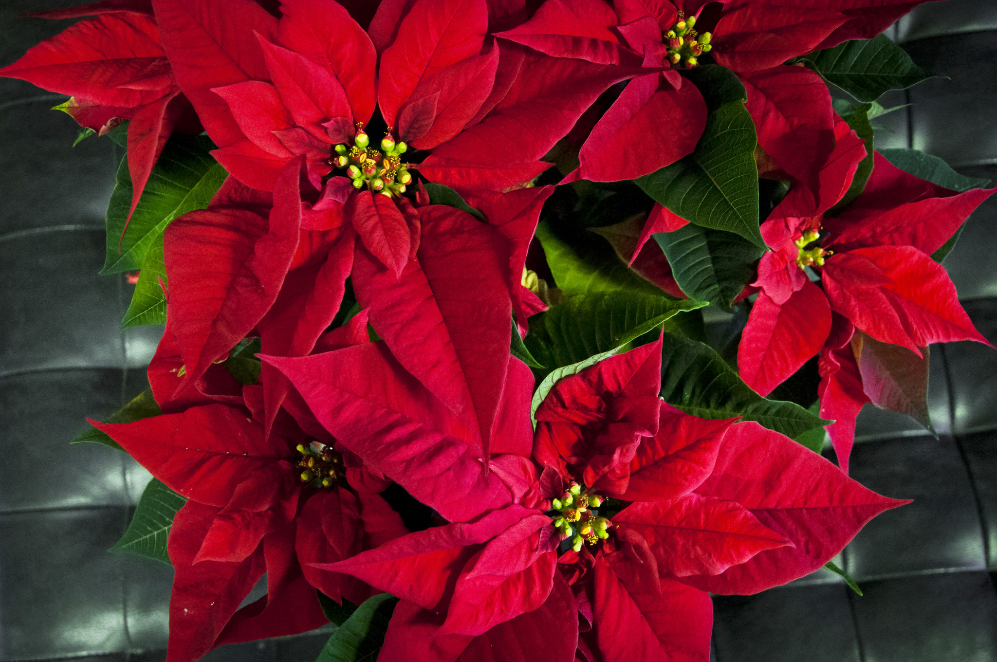 Bringing color back to your poinsettias