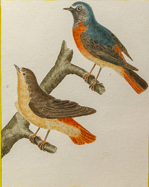 Rossignols (estampe du XVIIIème siècle)
