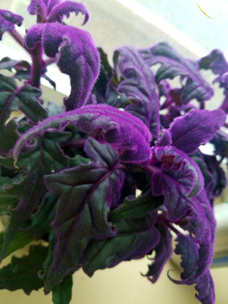 Formidable Named This Plant A Velvet Once Y Mature Irpurple Fuzz Goes Away But Again It Res Me Plant Tour Pagans Witches Amino Purple Velvet Plant Bloom Purple Velvet Plant Poisonous My Altar houzz-03 Purple Velvet Plant