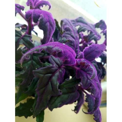 Medium Crop Of Purple Velvet Plant