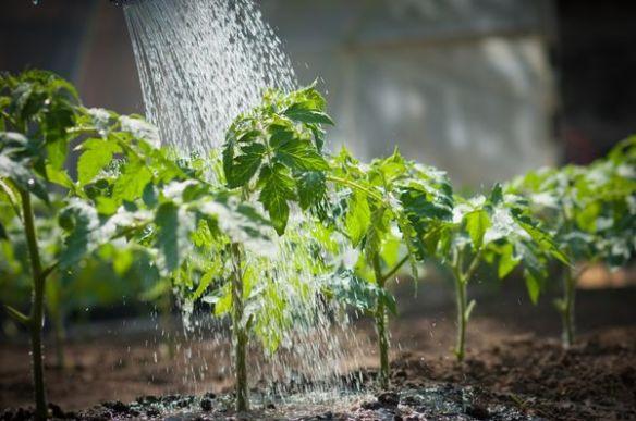 дефіцит вологи овочів