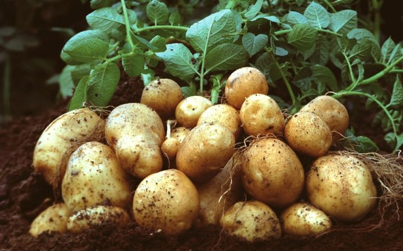 EU-Kommission genehmigt Stärkekartoffel Amflora / EU Commission approves Amflora starch potato