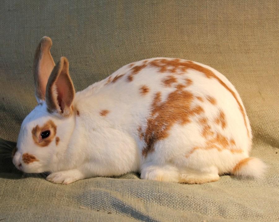 Foxglove: Broken Red New Zealand rabbit