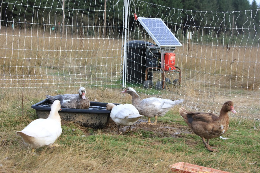 Happy muscovy ducks, protected by an electric fence