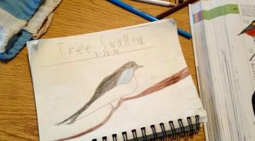 TreeSwallowDrawing