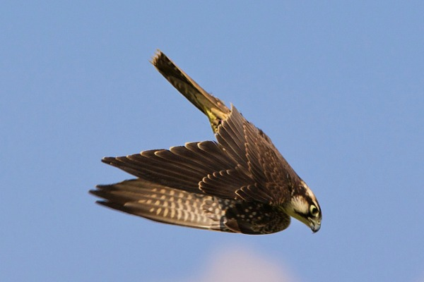 Peregrine Falcon vs. Cheetah: Who Would Win in A Race? - Pockets ...