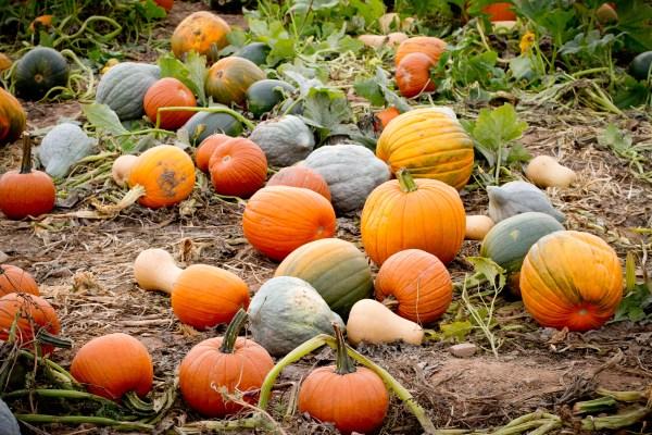 Lyman Orchards pumpkin picking