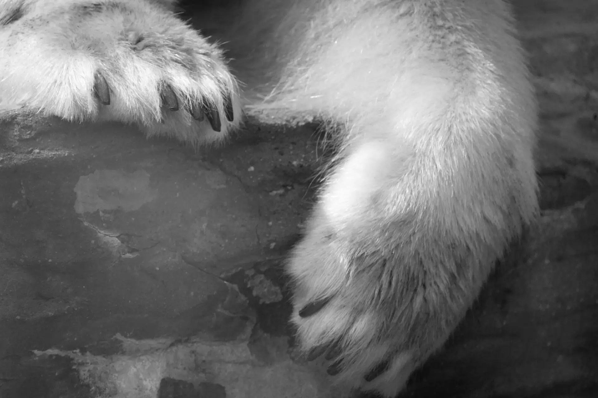 Fullsize Of Polar Bear Paw