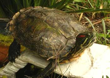 malo the turtle