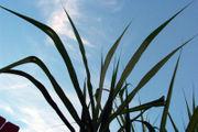 suage cane leaves