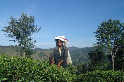 A Tamil woman picks tea on a plantation.
