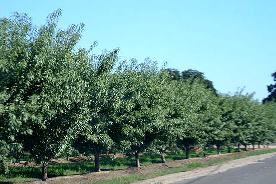 Almond_trees
